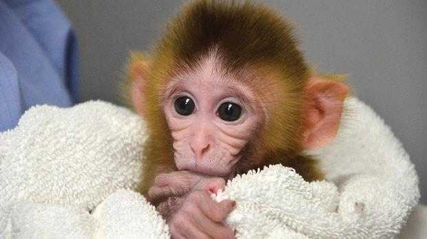 ANDi, first genetically modified monkey, source: timesofmalta.com